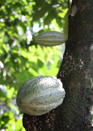 cocao bean on tree