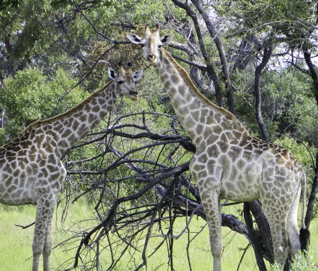 2 giraffes 1