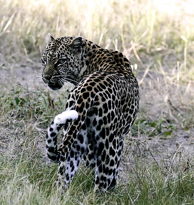 Ed Leopard 1