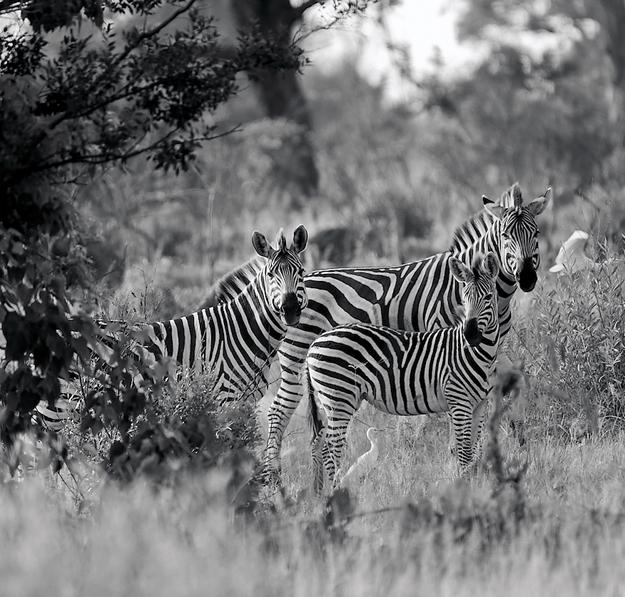 Ed's B&W zebras