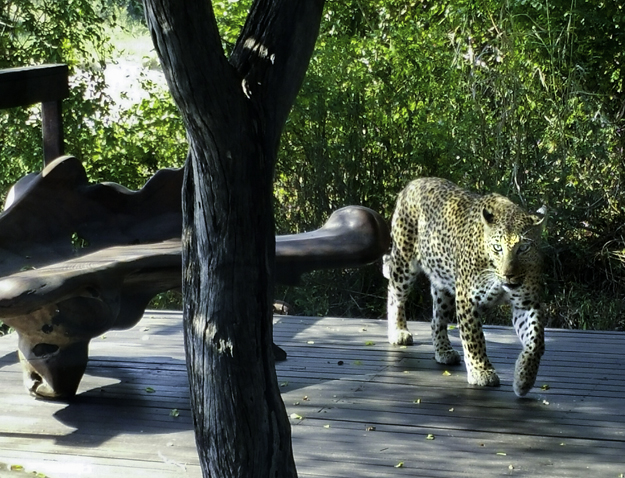 Leopard at mar's pool