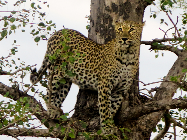 Pat's Leopard in tree 3