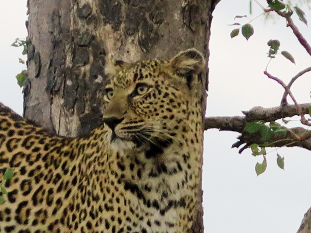 Pat's leopard in tree 2